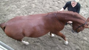 Renvers 1 300x168 Renvers: Teaching the exercise to the horse