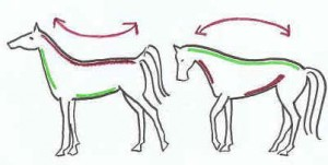 Tekening2 300x151 Is lowering the horses neck enough?