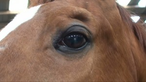 Horse eye 300x168 Sight of a horse