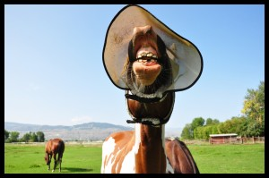 Funny Horse Photo Kailey Hillybilly seeker with border 300x199  Winners of the Funny Horse Photo Contest